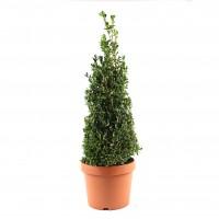 Arbust ornamental Buxus sempervirens pyramidalis, H 50 cm, D 19 cm