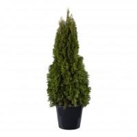 Arbore ornamental Tuia / Thuja occidentalis smaragd, H 100 - 120 cm