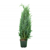 Arbore ornamental Chamaecyparis lawsoniana columnaris, H 100 - 120 cm