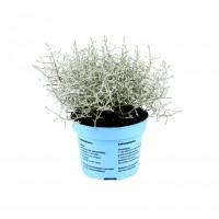 Planta exterior Calocephalus brownii (planta sarma), H 17 cm, D 11 cm