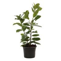 Arbust decorativ Laur - Prunus Laurocerasus, H 30 cm, D 17 cm