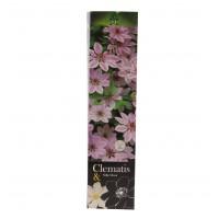 Arbust ornamental Clematis Premium