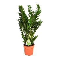 Planta interior - Zamioculcas (planta dinozaur), H 110 cm, D 24 cm