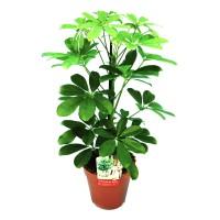 Planta interior - Schefflera arboricola nora (arborele umbrela), H 45 cm, D 13 cm