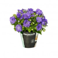 Planta exterior, cu flori - Campanula Porto blue, H 17 cm, D 11 cm