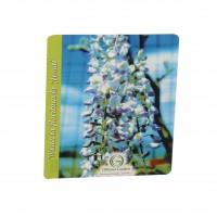 Arbust decorativ Glicina - Wisteria floribunda alba, H 60 cm, D 15 cm