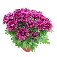 Planta exterior Chrysanthemum Myfield H 30 cm D 14 cm