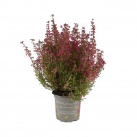 Planta exterior, cu flori, Erica Gracilis, H 20 cm, D 11 cm