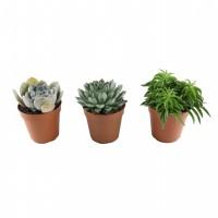 Plante interior - mix suculente, diverse specii, D 12 cm