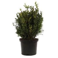 Arbust ornamental / gard viu Buxus sempervirens, H 50 cm, D 22 cm
