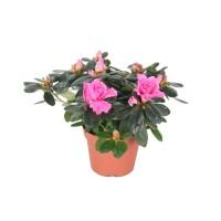 Planta exterior - Azalea mix, H 12 cm, D 9 cm