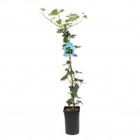 Planta exterior - Hedera Helix Hibernica (iedera), H 95 cm, D 16 cm