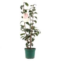 Arbust decorativ Camellia japonica, H 40 - 70 cm, D 15 cm