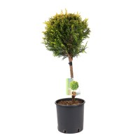 Arbore ornamental - Cupressocyparis leylandii aurea, H 40 - 60 cm