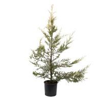 Arbore ornamental - Cupressocyparis leylandii, H 120 - 150 cm