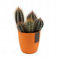Planta interior Cactus, ghiveci color magnetic, D 7 cm