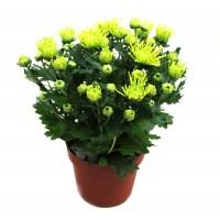 Planta exterior Chrysanthemum Green H 27 cm D 14 cm