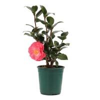 Arbust decorativ Camellia japonica, H 40 cm, D 12 cm