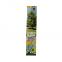 Arbore ornamental Ginkgo Biloba, H 15 - 25 cm