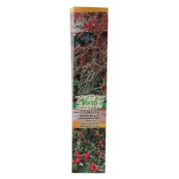 Arbust decorativ Cotoneaster horizontalis, H 15 - 25 cm