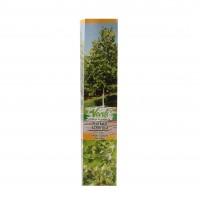 Arbore ornamental Platanus acerifolia, H 15 - 25 cm