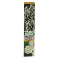 Arbust decorativ Spiraea vanhouttei, H 15 - 25 cm