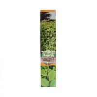Arbore ornamental Carpen - Carpinus Betulus, H 15 - 25 cm