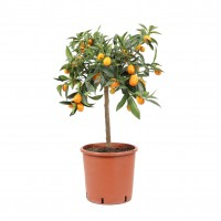 Planta interior - Citrus Kumquat, H 40 - 60 cm