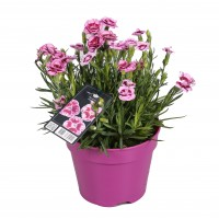 Plante de gradina, garofite - Dianthus Sunflor, H 25 cm, D 15 cm