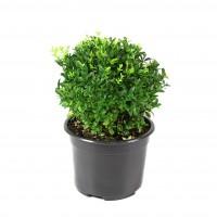 Arbust ornamental Buxus sempervirens ball, H 16 cm, D 17 cm