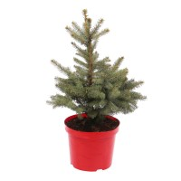 Arbore ornamental Picea pungens Super blue, H 60 - 80 cm, D 30 cm