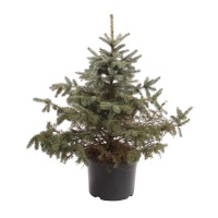 Arbore ornamental Picea pungens Super blue (molid argintiu), H 120 - 140 cm, D 38 cm