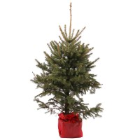 Arbore ornamental Picea pungens potgrown, H 80 - 100 cm