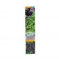 Arbust fructifer - coacaz negru Verdi