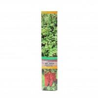 Arbust fructifer - coacaz rosu Verdi