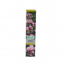 Arbore ornamental - Magnolia mix, H 15 - 25 cm