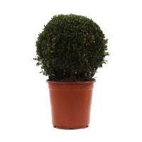 Arbust ornamental Buxus sempervirens - ball, H 35 cm, D 21 cm