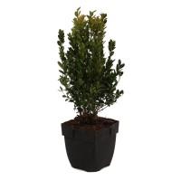 Arbust ornamental / gard viu Buxus sempervirens, H 30 cm, D 17 cm