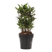 Arbust ornamental Laur - Laurus nobilis, H 40 cm, D 12 cm