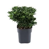 Arbust ornamental - Pieris forest flame, H 35 cm, D 17 cm