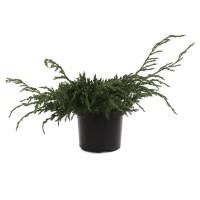 Arbust decorativ Juniperus Squamata blue carpet, D 19 cm