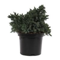 Arbust decorativ Juniperus Squamata blue star, H 30 cm, D 19 cm