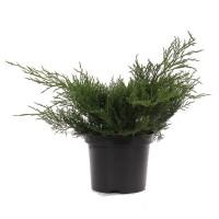 Arbust decorativ Juniperus Pfitzeriana old gold, D 19 cm