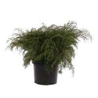 Arbust ornamental Microbiota decussata, H 40 cm, D 19 cm