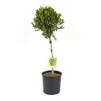 Arbust ornamental Buxus sempervirens, cu port inalt, H 60 - 80 cm