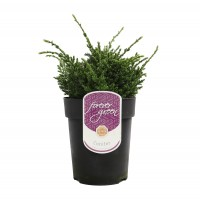 Arbust decorativ Juniperus Squamata Holger, D 17 cm