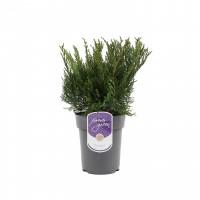 Arbust decorativ Juniperus Pfitzeriana Mint Julep, ienupar, D 17 cm
