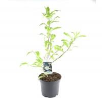 Arbore ornamental -Magnolia mix, H 65 cm, D 19 cm