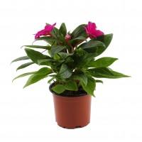 Planta exterior, cu flori, Impatiens New Guinea, H 15, D 14 cm