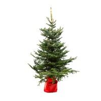Arbore decorativ molid - Picea pungens, potgrown, H 150 - 175 cm, D 24 cm